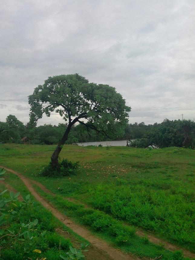 Pohon Talanca Bagedur